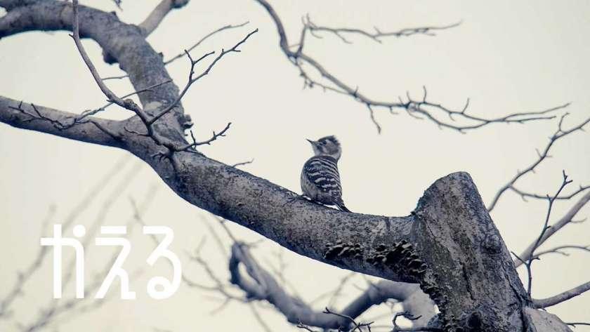 コゲラ(野鳥が)枝にとまっているイメージ。