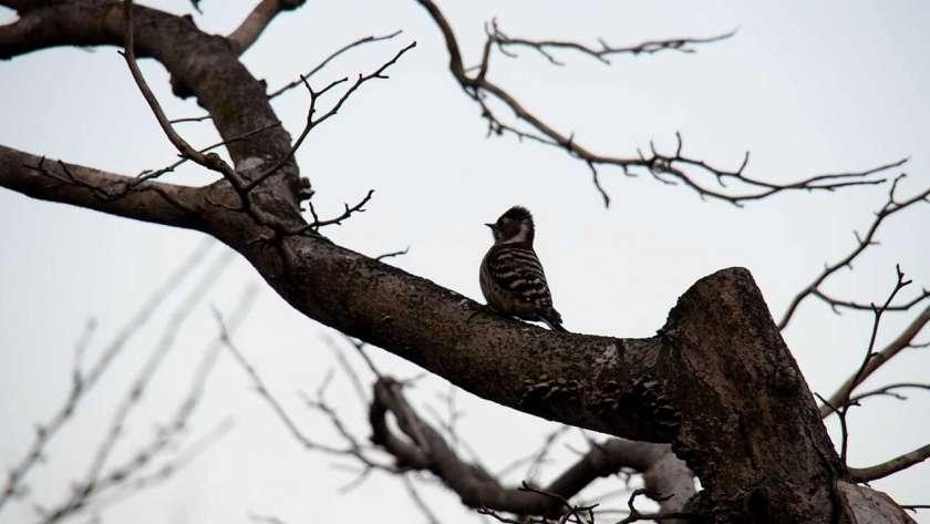 コゲラ(野鳥が)枝にとまっているイメージ。加工前の生の色。